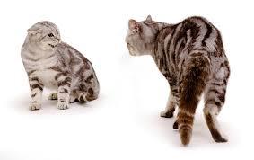 gatos bufando